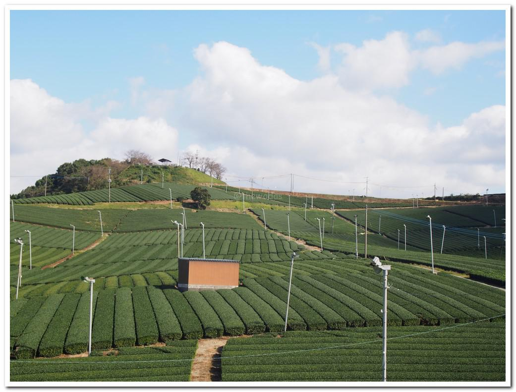 Neatly trimmed tea plants. It indicates that harvest has been done just recently.