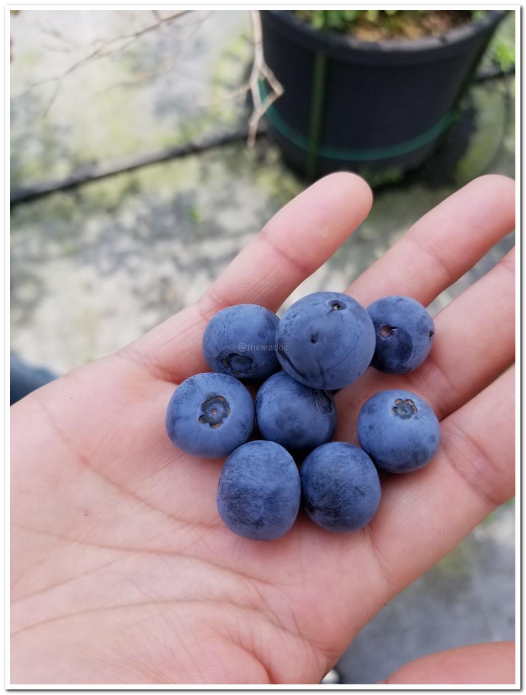 Blueberry Picking at Setouchi Fruits Garden (Setouchi City)